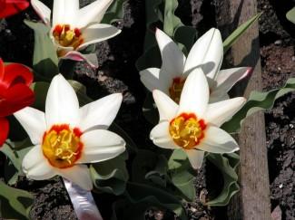 Тюльпан Анцилла