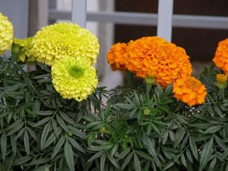 Бархатцы французские купить в питомнике растений недорого | город Родники Ивановская область