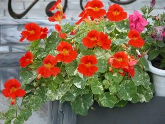 Настурция Аляска однолетнее растение для сада купить в питомнике | город Родники Ивановская область