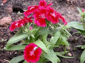 Гвоздика декоративная садовая купить в питомнике растений | город Родники Ивановская область