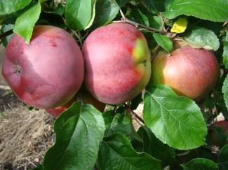 Купить саженцы яблони Антей в питомнике | город Родники Ивановская область