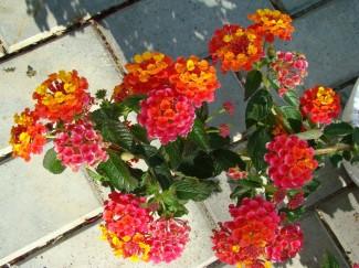 Лантана однолетнее декоративное растение купить в питомнике | город Родники Ивановская область тел. 8(49336)2-39-41