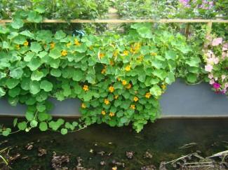 Настурция длинноплетистая однолетнее растение купить в питомнике | город Родники Ивановская область