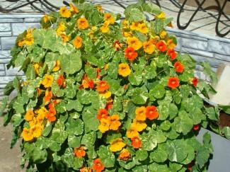 Настурция короткоплетистая однолетнее садовое растение купить недорого | питомник в городе Родники Ивановская область