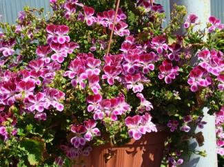 Пеларгония Вишенка (группа Ангел) однолетнее растение для сада купить в питомнике | город Родники Ивановская область