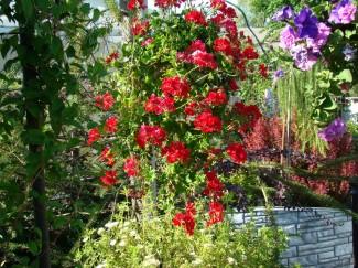 Пеларгония плющелистная Норита однолетнее растение для сада купить в питомнике | город Родники Ивановская область