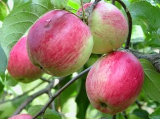 Купить саженцы яблони Афродита в питомнике садовых и декоративных растений | город Родники Ивановская область
