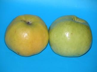 Купить саженцы яблони Антоновка в питомнике | город Родники Ивановская область