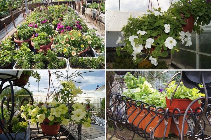Купить саженцы растений в питомнике Мир Растений в Родниках
